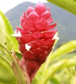 ALPINIA JUNGLE KING