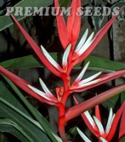 HELICONIA ANGUSTA RED