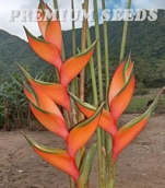 HELICONIA PEACH PINK