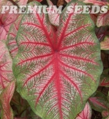 CALADIUM MULTICOR 7