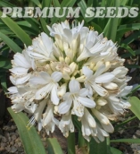 AGAPANTHUS SNOW BALL