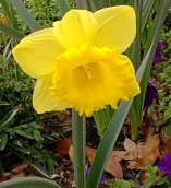 NARCISO TRUMPET