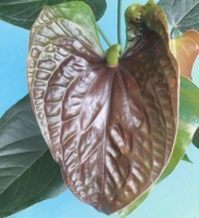 ANTHURIUM CHOCOLATE GIGANTE