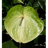 ANTHURIUM GREEN VALLEY
