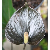 ANTHURIUM ONIX MINI