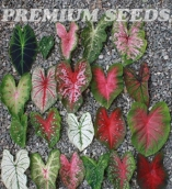 CALADIUM MIX (10 UNIDADES)
