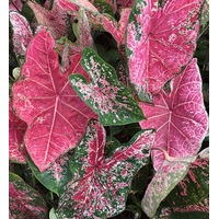 CALADIUM TROPICAL 3