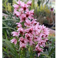 CYMBIDIUM DEVON