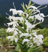 HEDYCHIUM WHITE BUTTERFLY