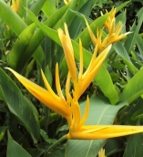 HELICONIA GOLDEN TORCH