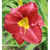 HEMEROCALLIS BLOOD (5 UNIDADES)
